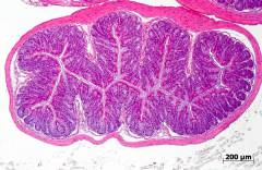 H&E staining of a normal colon