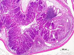 H&E staining of moderate TNBS-induced diseased colon