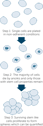 Cancer stem cell sphere formation